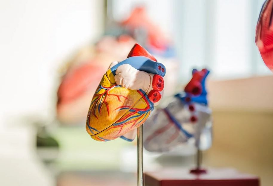 the amazing human heart
