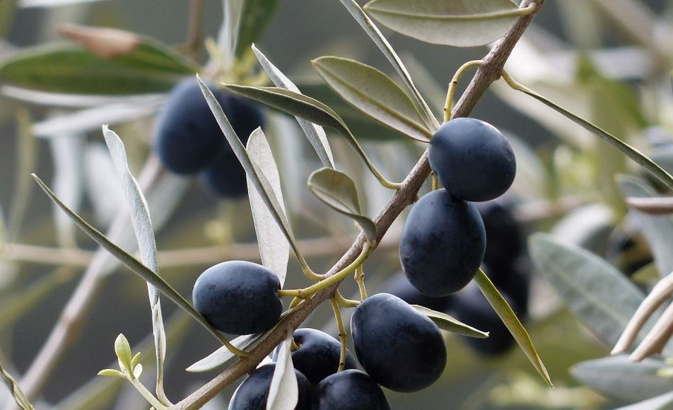 olives growing in an olive tree